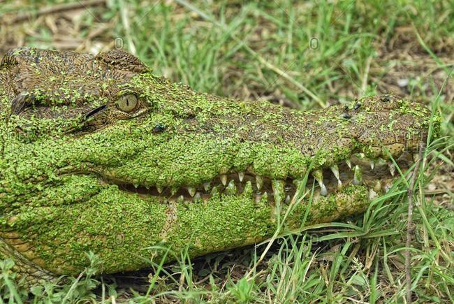 Saltwater crocodile or Estuarine crocodile (Crocodylus porosus), head covered in Duckweed (Lemna minor), Billabong Sanctuary, Townsville, Queensland, Australia, Oceania