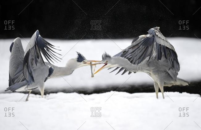 Grey Herons (Ardea cinerea), fighting, with caught fish