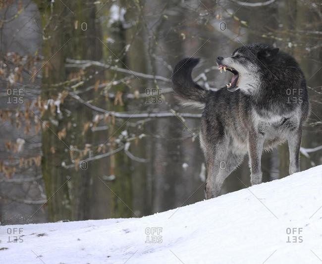 Mackenzie Wolf, Alaskan Tundra Wolf or Canadian Timber Wolf (Canis lupus lycaon), aggressive, in the snow