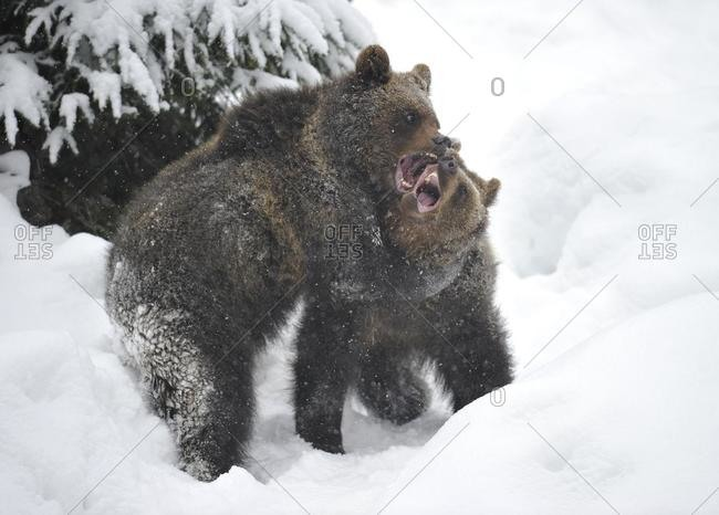 European Brown Bear (Ursus arctos) cubs wrestling and playing in the snow