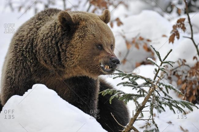 Brown bear (Ursus arctos) in the snow, eating a spruce