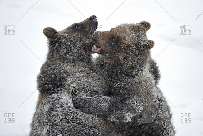 European Brown Bear (Ursus arctos) cubs wrestling in the snow, Bavarian Forest National Park, Germany, Europe