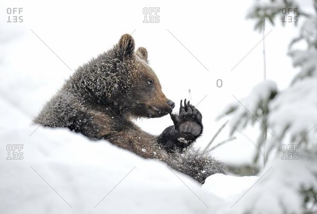 European Brown Bear (Ursus arctos) cub sitting in the snow and playing with its paw, Bavarian Forest National Park, Germany, Europe