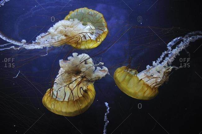 Pacific Sea Nettle or West Coast Sea Nettle (Chrysaora fuscescens), San Francisco, California, USA, North America