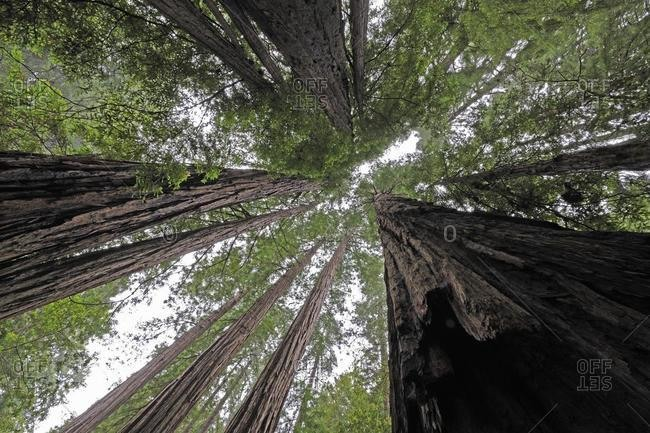 Vegetation and Coastal Redwoods (Sequoia sempervirens), Muir Woods National Park, California, USA, North America