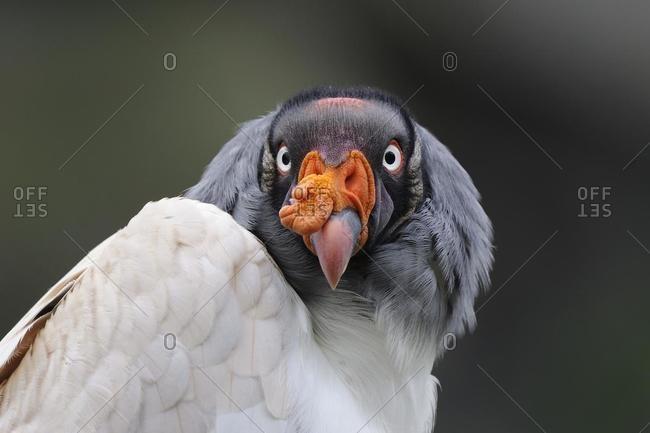 King vulture (Sarcoramphus papa), portrait