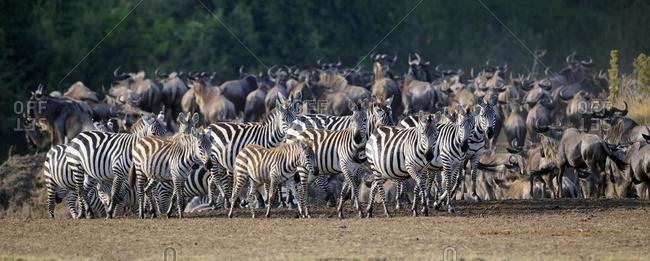 Burchell's zebras, plains zebras (Equus quagga) and Blue wildebeests (Connochaetes taurinus), Maasai Mara National Reserve, Kenya, East Africa, Africa