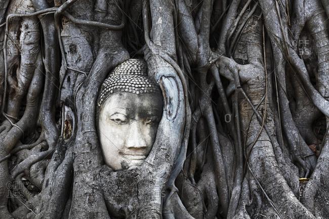 Stone Buddha head ingrown in a ficus religiosa (Ficus religiosa), Wat Mahat Dat, Buddhist temple complex, Ayutthaya Province, Ayutthaya Province, Thailand, Asia