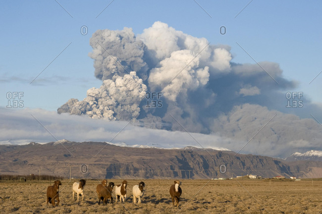 Iceland horses in front of the ash cloud of the Eyjafjallajoekull volcano, Landeyjar, South Iceland, Iceland, Europe