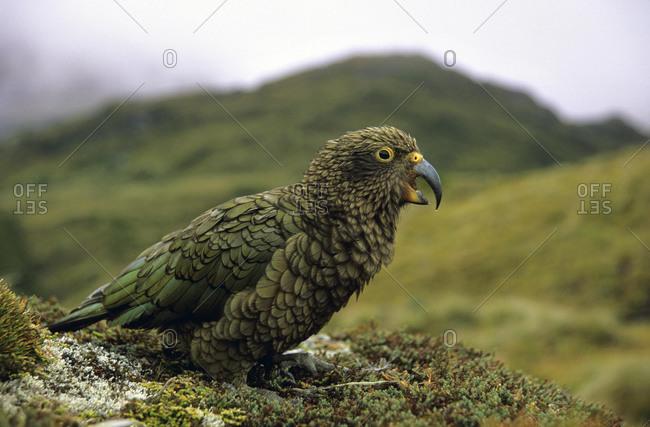 Kea, Mountain Parrot (Nestor notabilis) in Fiordland National Park, South Island, New Zealand, Oceania