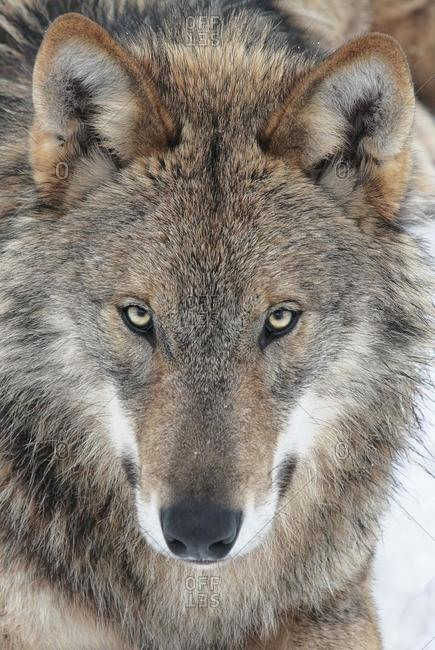 Wolf (Canis lupus), portrait