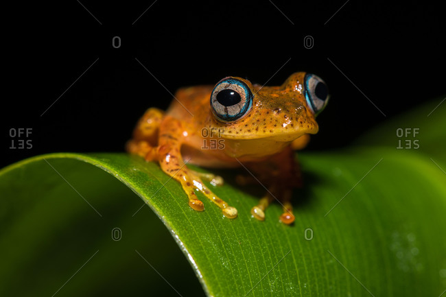 Tree climbing frog species (Boophis pyrrhus) sits on leaf, Andasibe National Park, Madagascar, Africa