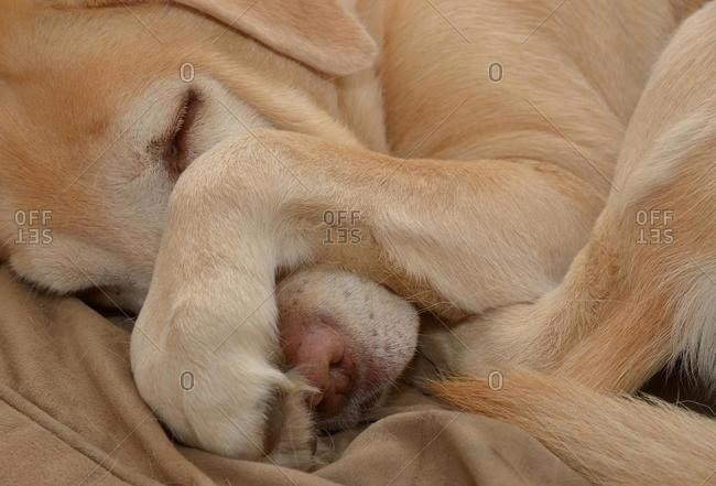 Labrador, sleeping