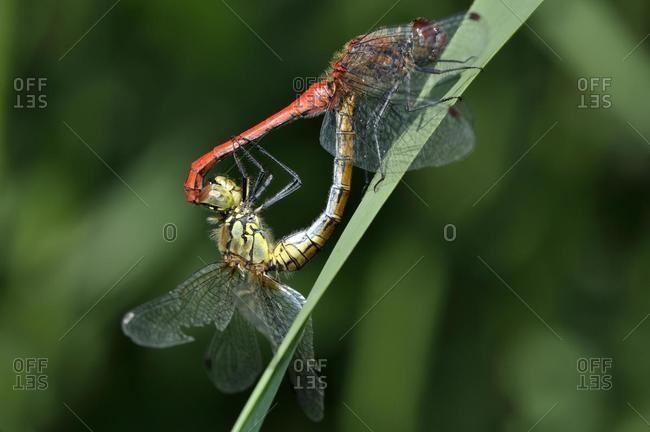 Ruddy Darter (Sympetrum sanguineum), mating pair