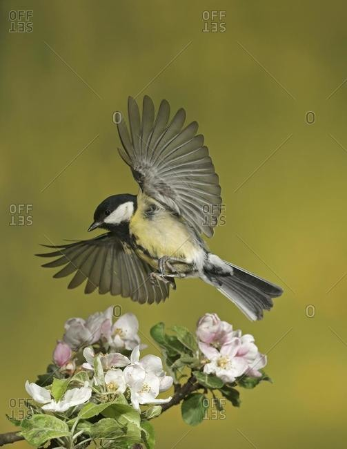 Great tit (Parus major) in flight