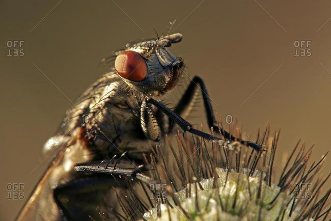 Blowfly (Polenia spec.) - Offset Collection