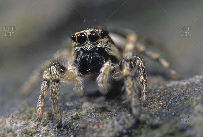 Zebra spider (Salticus scenicus) - Offset