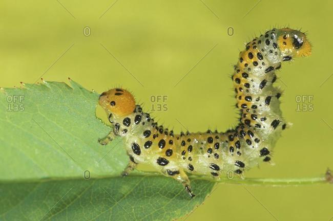 Sawfly larva