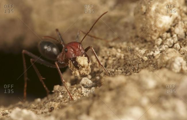 Ant of the genus Cataglyphis in the subfamily Formicinae northern Bulgaria Bulgaria Europe