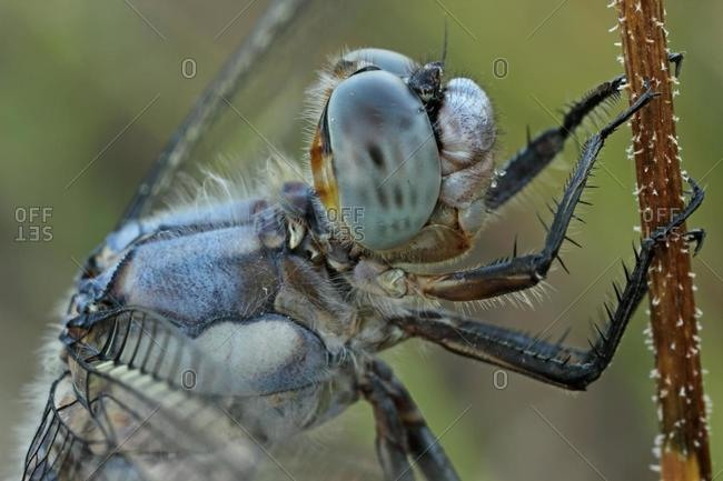 Southern Skimmer dragonfly (Orthetrum brunneum), northern Bulgaria, Bulgaria, Europe