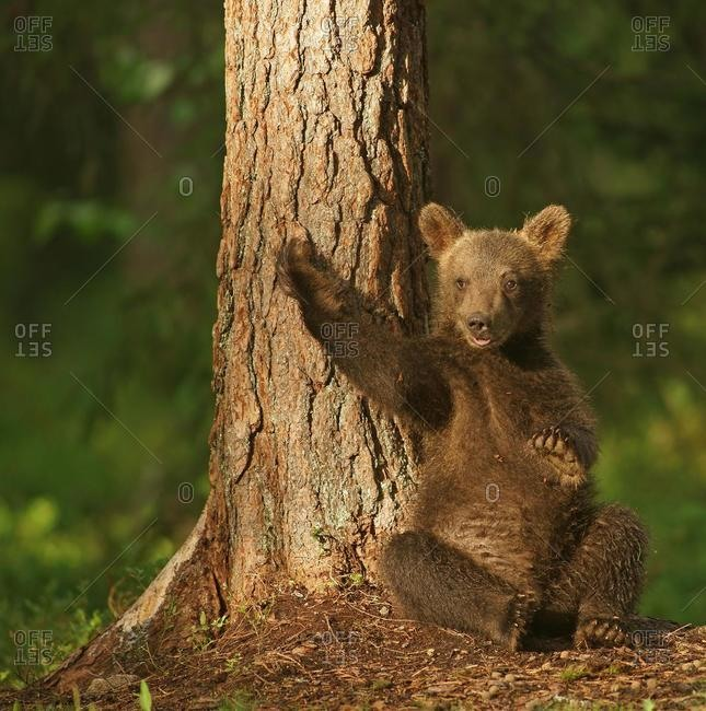 Brown Bear (Ursus arctos), cub, Suomussalmi, Kainuu, Finland, Europe