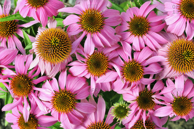 Eastern purple coneflower or Purple coneflower (Echinacea purpurea)