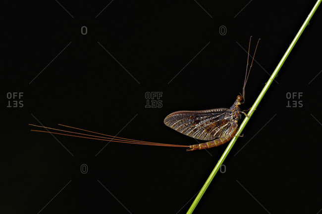 Mayfly (Ephemeroptera) from the Offset Collection