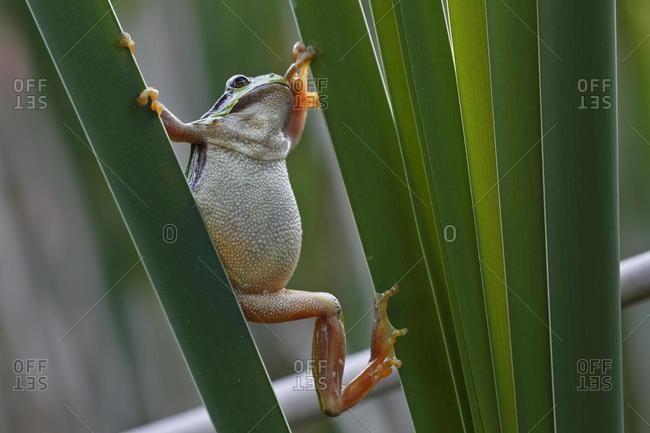European tree frog (Hyla arborea) on a reed leaf, Middle Elbe Biosphere Reserve, Saxony-Anhalt, Germany, Europe