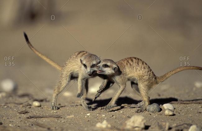 Meerkat ( Suricata suricatta), youngsters playing, Kgalagadi Transfrontier Park, Kalahari, South Africa, Africa