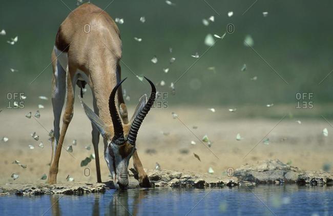 Springbok (Antidorcas marsupialis), drinking at waterhole with butterflies, Kgalagadi Transfrontier Park, Kalahari, South Africa, Africa