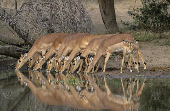 Impalas (Aepyceros melampus), in a row, drinking, Kruger National Park, South Africa, Africa