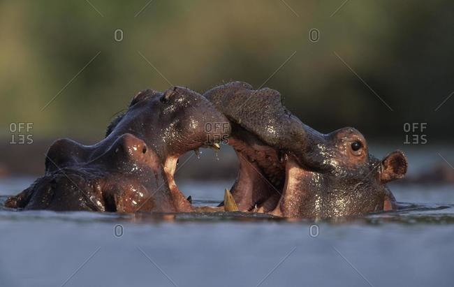 Hippo (Hippopotamus amphibius), males fighting, Kruger National Park, South Africa, Africa