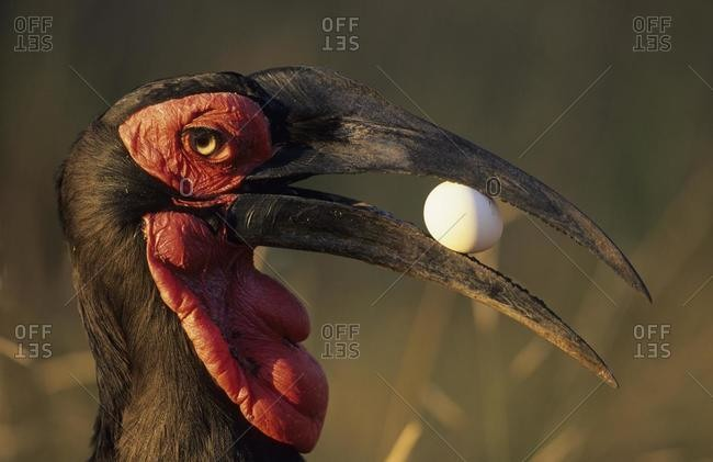 Southern Ground Hornbill (Bucorvus leadbeateri), with egg in beak, Kruger National Park, South Africa, Africa