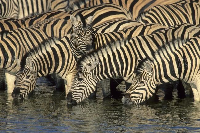 Burchell's Zebra (Equus burchelli), herd drinking at waterhole, Etosha National Park, South Africa, Africa