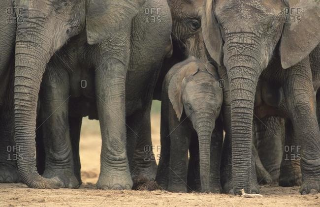 African elephants (Loxodonta africana), breeding herd with baby, Addo National Park, South Africa, Africa