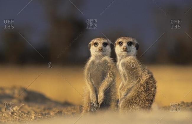 Meerkats (Suricata suricatta), Kgalagadi Transfrontier Park, Kalahari, South Africa, Africa