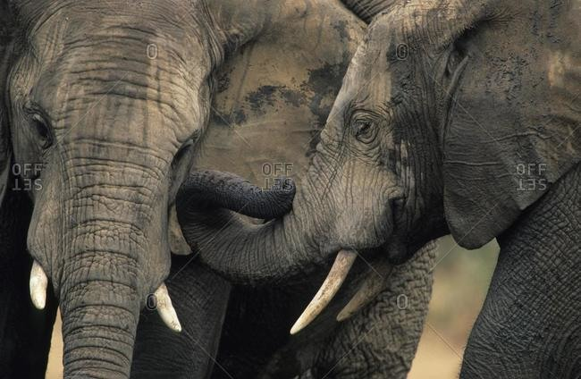 African Elephant (Loxodonta africana), greeting, Addo Elephant National Park, South Africa, Africa