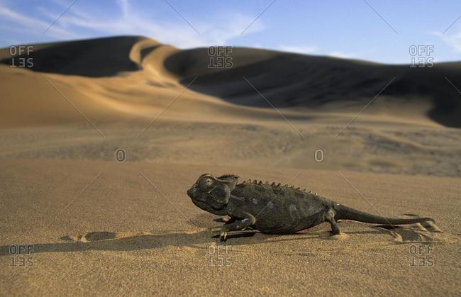 Namaqua Chamaeleon (Chamaeleo namaquensis), in the desert, Namib Desert, Namibia, Africa