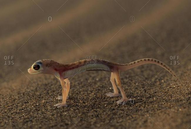 Web-footed Gecko (Palmatogecko rangei), Namib-Naukluft Park, Namibia, Africa