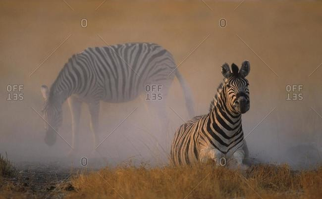 Plains zebra or Burchell's Zebra (Equus quagga), dustbathing, Etosha National Park, South Africa, Africa