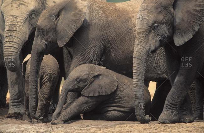 African Elephant (Loxodonta africana), herd, Addo Elephant National Park, South Africa, Africa