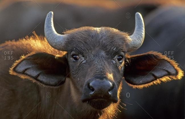 Cape Buffalo (Syncerus caffer), calf, portrait, Kruger National Park, South Africa, Africa