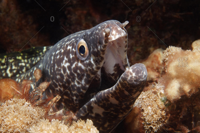 Spotted Moray (Gymnothorax moringo), looking out of hideaway in coral reef, aggressive gesture, Saint Lucia, St. Lucia Island, Windward Islands, Lesser Antilles, Caribbean, Caribbean Sea, Central America