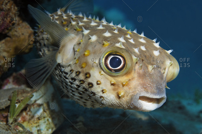 Spotbase burrfish or yellowspotted burrfish (Cyclichthys spilostylus), Hashemite Kingdom of Jordan, JK, Red Sea, Western Asia