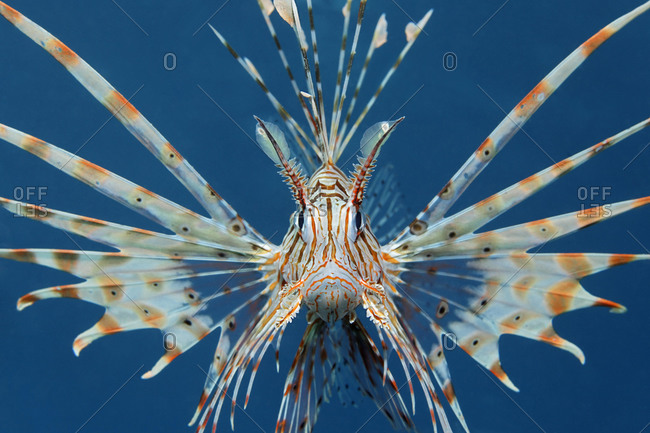 Commen Lionfish (Ptrois volitans) aggressive, head-on, symmetric, in blue sea water, Hashemite Kingdom of Jordan, Red Sea, Western Asia