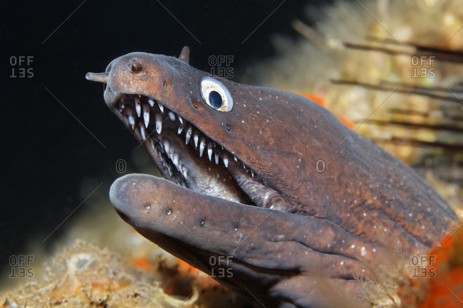 Dotted moray or Moray Eel (Muraena augusti) looking out of its hideout, Madeira, Portugal, Europe, Atlantic, Ocean, Europe
