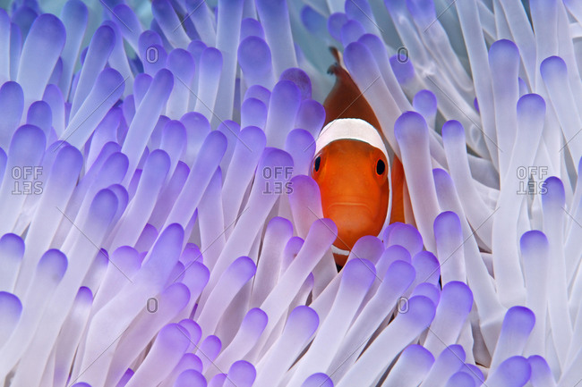 Western Clownfish (Amphiprion ocellaris) in Magnificent Sea Anemone (Heteractis magnifica), Great Barrier Reef, UNESCO World Heritage Site, Queensland, Cairns, Australia, Pacific Ocean, Oceania