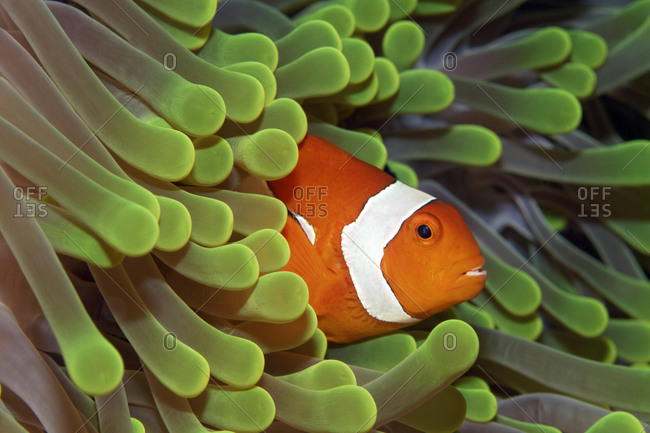 Ocellaris Clownfish (Amphiprion ocellaris) in Magnificent Sea Anemone (Heteractis magnifica), Tukangbesi Archipelago, Wakatobi National Park, Banda Sea, Southeast Sulawesi, Indonesia, Asia