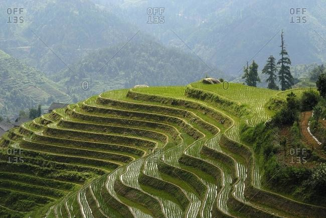 "The world-famous rice terraces of Longji ""Backbone of the Dragon"" or ""Vertebra of the Dragon"" for paddy cultivation, Dazhai, Ping'an, Guilin, Longsheng, Guangxi, China, Asia"