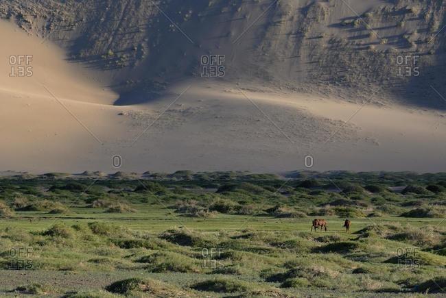 Mongolian horses in lush grass landscape in front of the large Khorgoryn Els sand dunes in the Gobi Desert, Gurvan Saikhan National Park, Oemnoegov Aimak, Mongolia, Asia